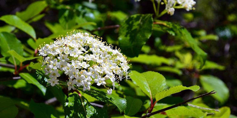 Black haw – description, flowering period. Sweet haw (Viburnum prunifolium) branch with flowers