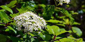 Viburnum prunifolium – description, flowering period and time in Arkansas, Sweet haw (Viburnum prunifolium) branch with flowers.