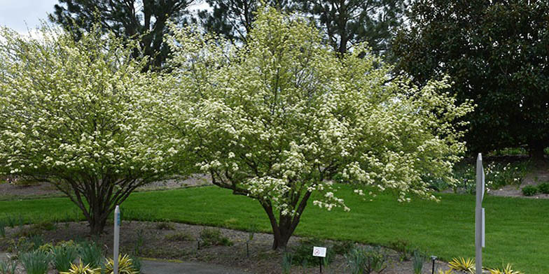Black haw – description, flowering period. Blackhaw two flowering plants in the park